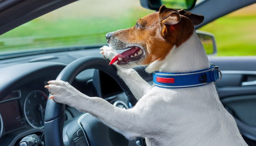 A dog drives a car on a road trip with dogs